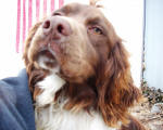 Ohio English Springer Spaniels