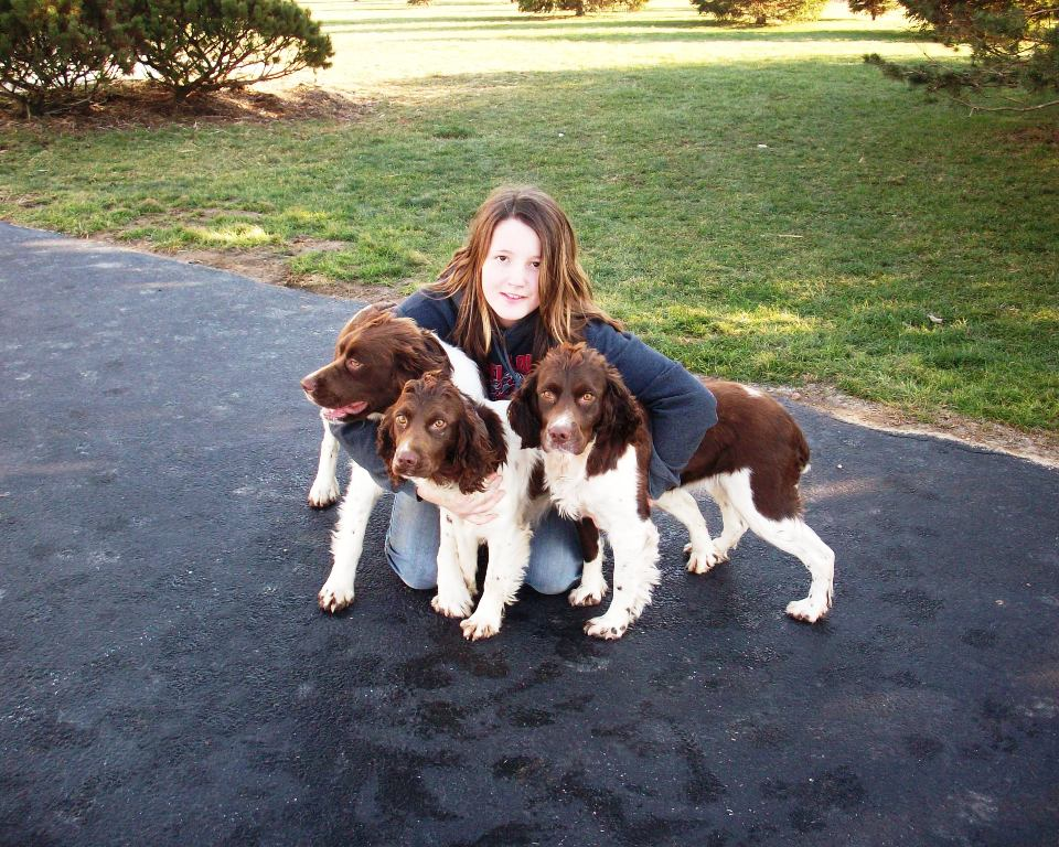 English Springer Spaniels Hunting Dogs