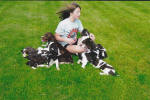 Ohio English Springer Spaniels hunt