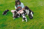 English Springer Spaniels dogs