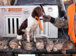 Taffy English Springer Spaniels