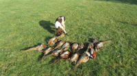 English Springer Spaniels hunt