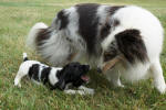 Ohio English Springer Spaniels puppies